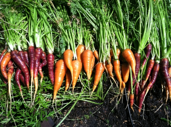 """Your carrots may be shorter than you expect, and a bit bent, but they taste amazing. These """"Nantes"""" and """"Purple Haze"""" carrots were super successful."""