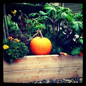 pumpkin in garden